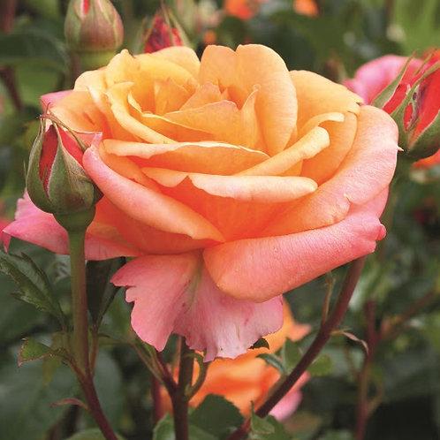"""Роза чайно-гибридная """"Cherry Brandy"""" (Черри Бренди)"""