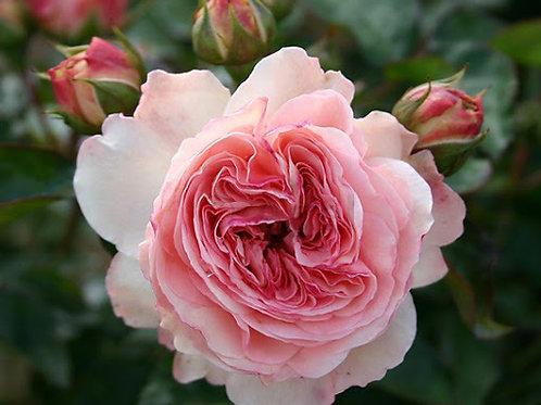 Роза флорибунда Mariatheresia (Мария Тереза)
