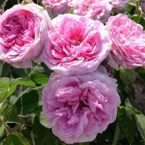 """Роза Дамасская """"Comte de Chambord""""  (Граф де Шамбор)"""