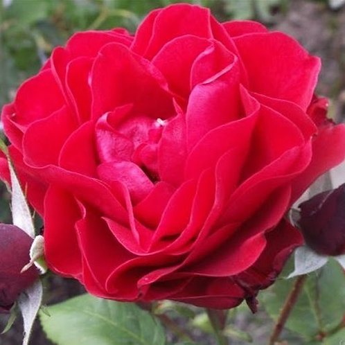 """Роза флорибунда """"Feuerland""""  (Фоерланд)"""