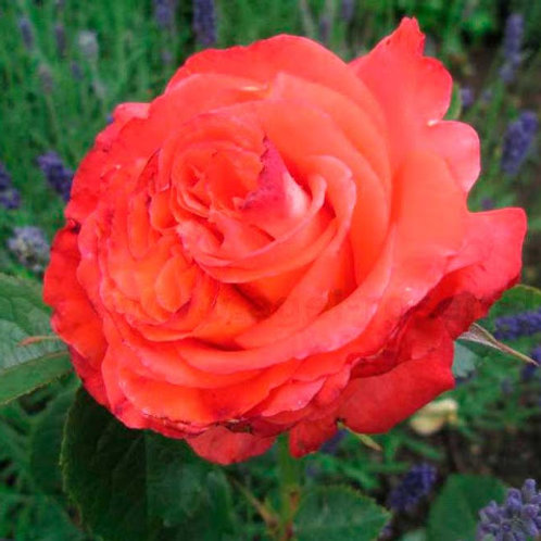 """Роза чайно-гибридная """"Konigin der Rosen"""" (Конигин Дер Розен)"""