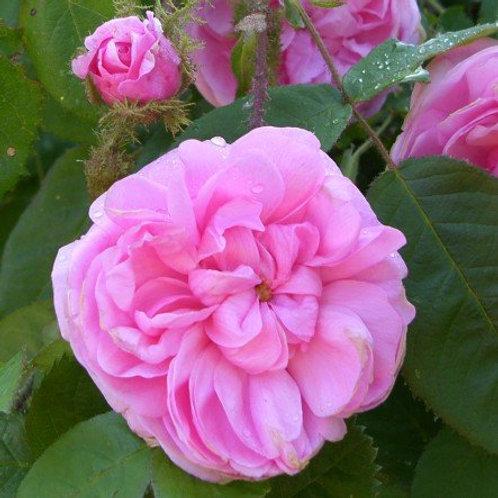 Роза центифольная Muscosa grafted (Центифолия Мускоза)