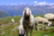 ÖTZTAL_OBERINNTAL_animals-1808420_1920_(