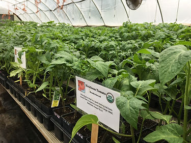 tomatoes with sign in gh1.JPG
