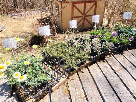 花の苗の販売が始まりました