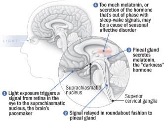 hsph_scheme-of-retina-to-melatonin.jpg