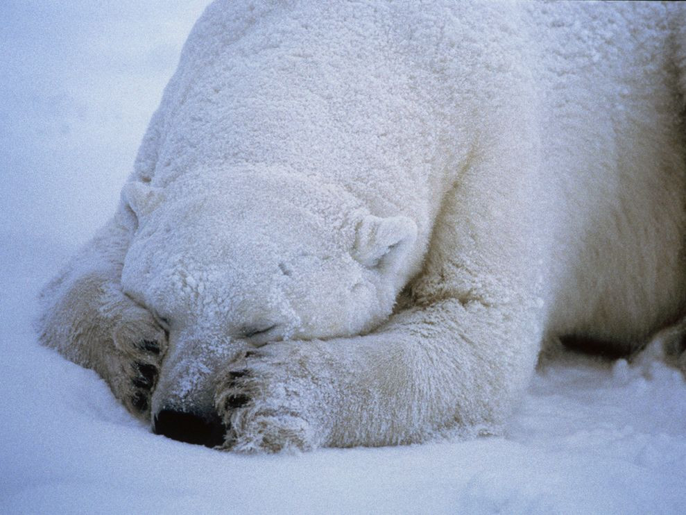 polar-bear-sleeping_666_990x742.jpg