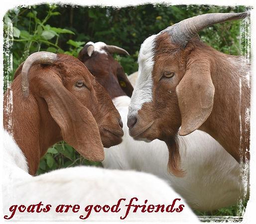 goatsagoodfriends_kl.JPG