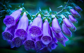 foxgloves2.jpg