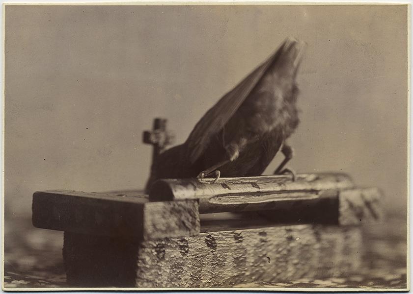 fp8747(Bird-Bum)