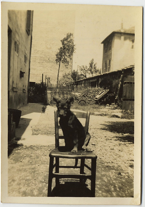 ADORABLE LITTLE DOG OBEDIANTLY SITS on CHAIR in BACK YARD PORTRAIT