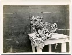 fp1666 (leopard)