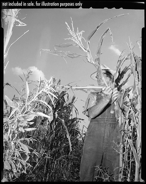 4x5 NEGATIVE PRESS PHOTO FARMER DISPLAYS CORN LOW ANGLE GRASSHOPPERS