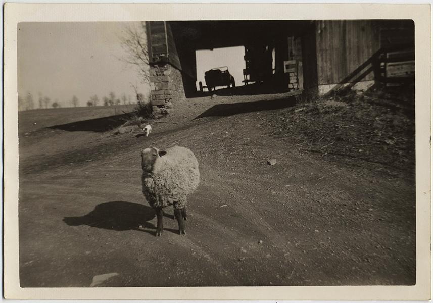 fp10368(Sheep-Cat-Car)