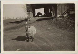 fp10368(Sheep-Cat-Car)