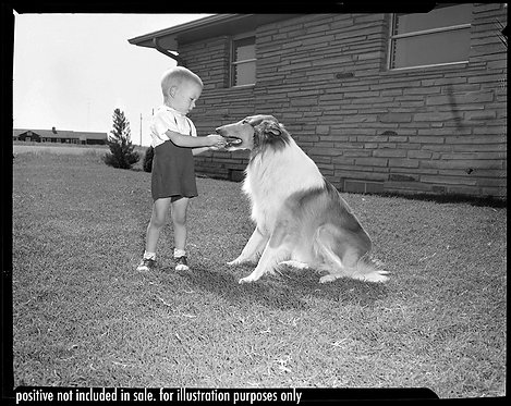 PRESS NEGATIVE ADORABLE LITTLE BOY KID PLAYS w FAMILY BORDER COLLIE DOG in YARD