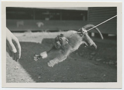 fp3757(MonkeyOnLeash_Leaping)