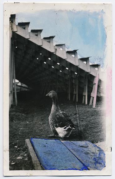 fp3354(Duck_Bleachers-tinted)