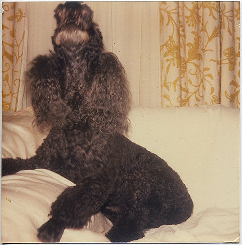 WONDERFUL HOWLING BARKING POODLE DOG on WHITE CHAIR GOLD DRAPES