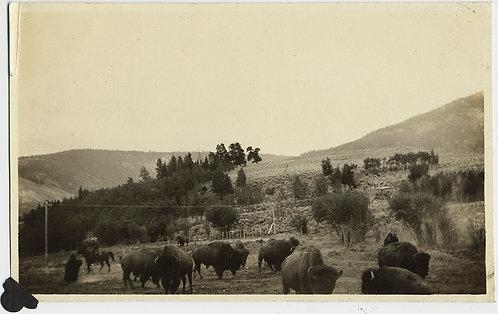 HOME on the RANGE COWBOY on HORSE HERDS BUFFALO BISON ROAMING in LANDSCAPE