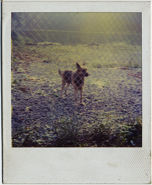 LOVELY POLAROID of DOG BEIND CHAIN-LINK FENCE in DAPPLED SUNLIGHT!