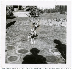 fp1547 (dalmation and shadow of photographer)
