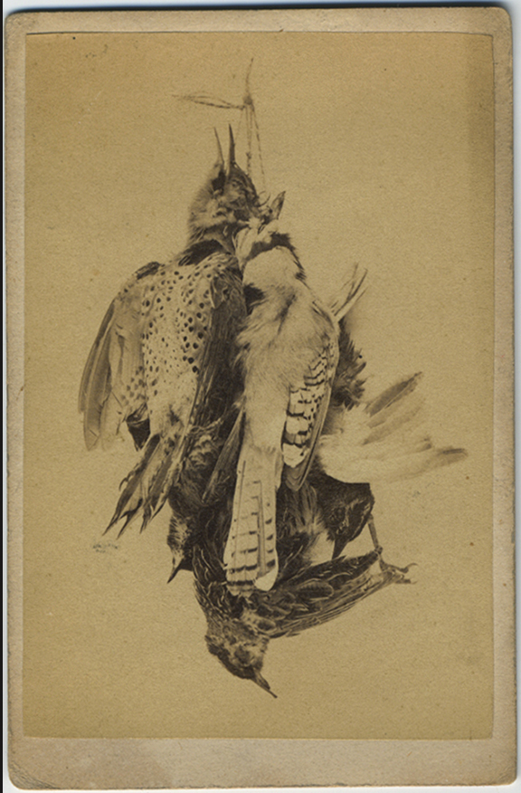fp5482(CDV_Birds_Entangled_Feathers)
