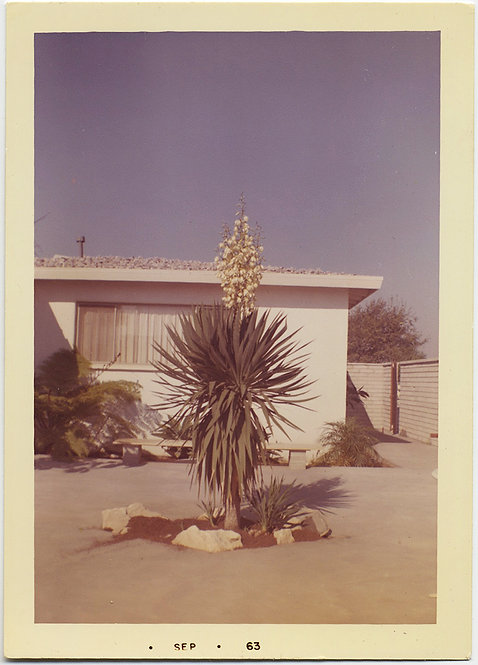 MID CENTURY MODERN HOUSE in DESERT w FLOWERING YUCCA CACTUS PLANT 1963