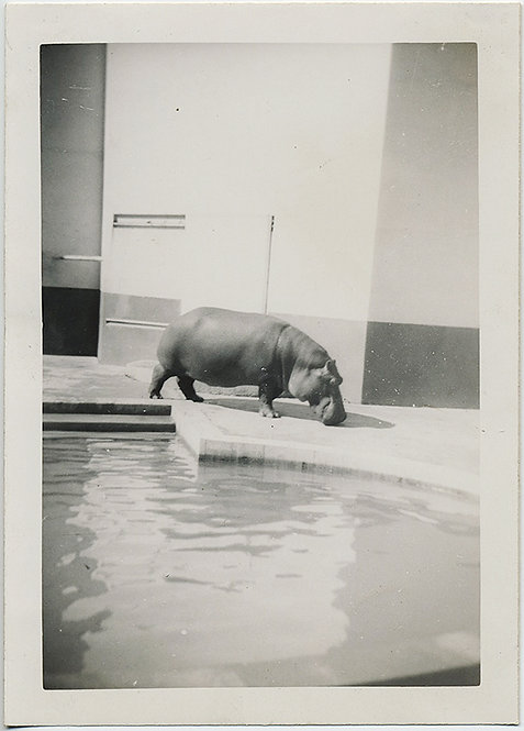 GREAT Graphic COMPOSITION! Hippo in ZOO!