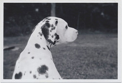 fp3608(Dalmation_Profile)
