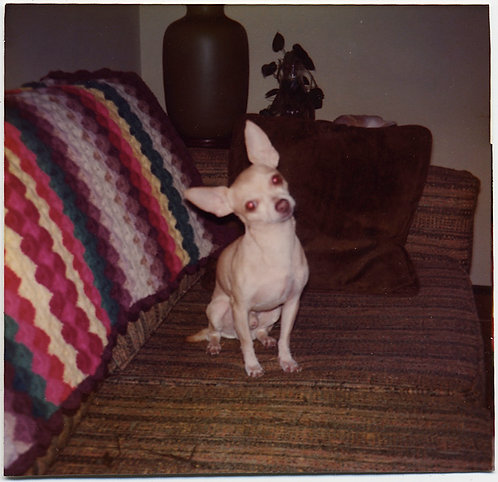 ADORABLE PALE CHIHUAHUA DOG COCKS HEAD on COUCH CUTE