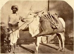fp1367 (indian peasant and bull- detail1)