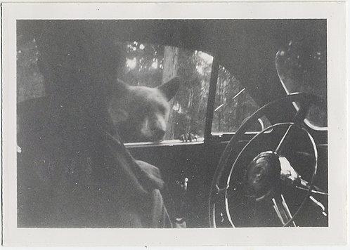 CURIOUS YELLOWSTONE BEAR PEEKS in at TOURIST'S CAR WINDOW!