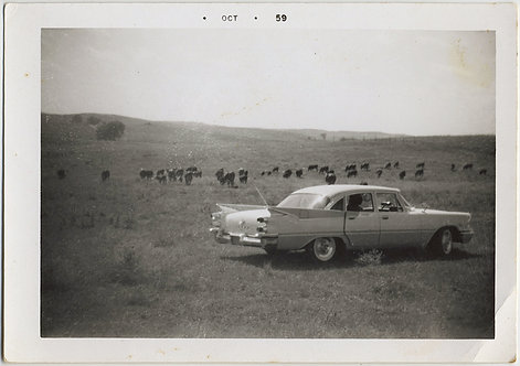 MID-CENTURY CATTLE COWBOY DRIVES FINNED CAR onto the RANGE SURREAL and STRANGE