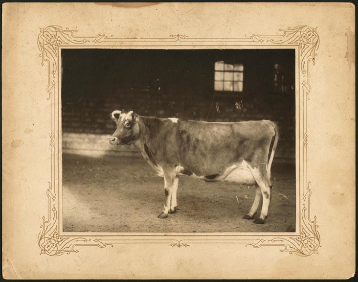 fp0987 (cow)