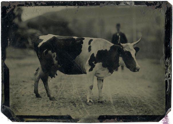 fp1446 (TT cow)