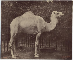 fp2234(Bolton_Camel_Cage)