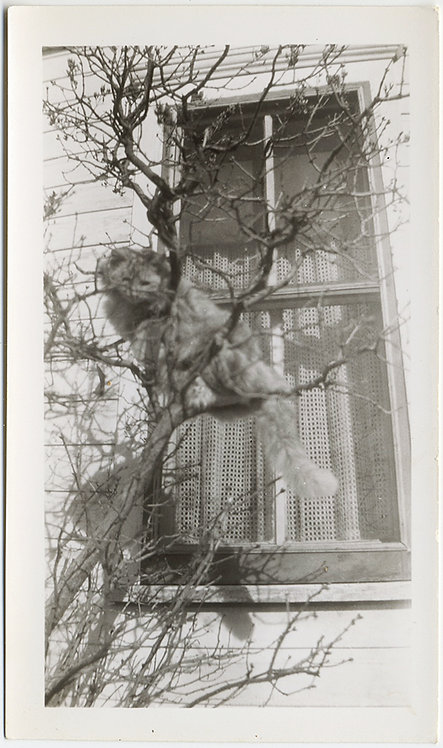 FURRY FLUFFY CAT CAUGHT MALINGERING UP TREE OUTSIDE WINDOW