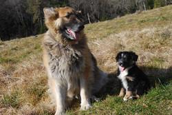 German Shepherd and a Aussie pup