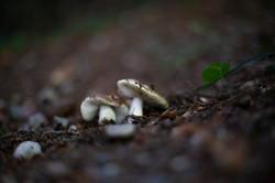 Mushroom of Lacarno