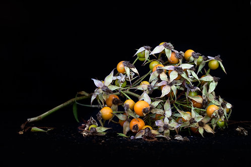 Rose buds-Gone to seed series