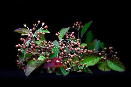 Red berries-Gone to seed series