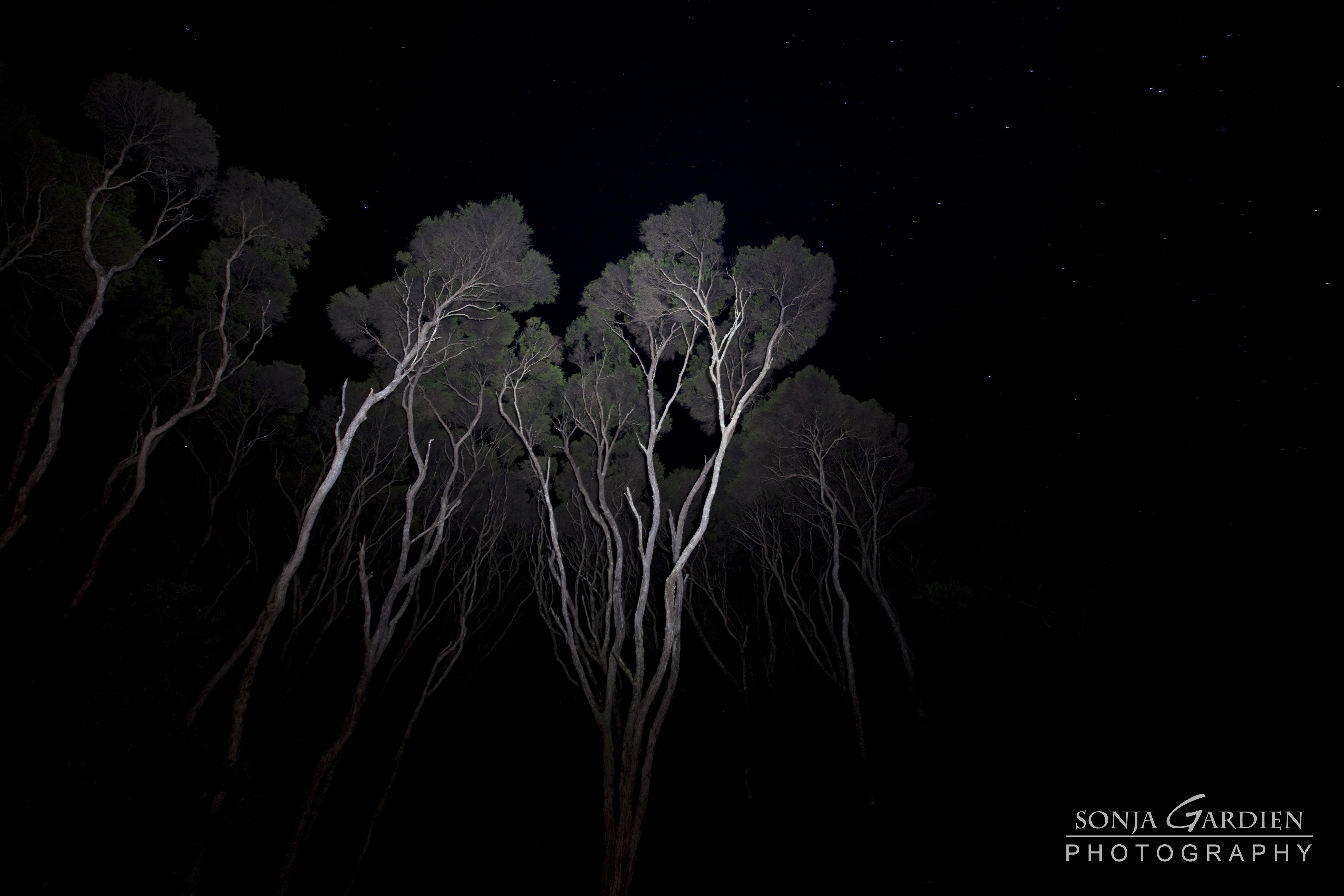 Manuka Trees in the moon light