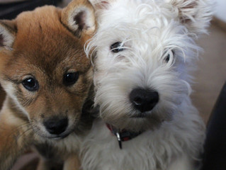Introducing a New Dog to Your Resident Dog: Let's take the guesswork out!