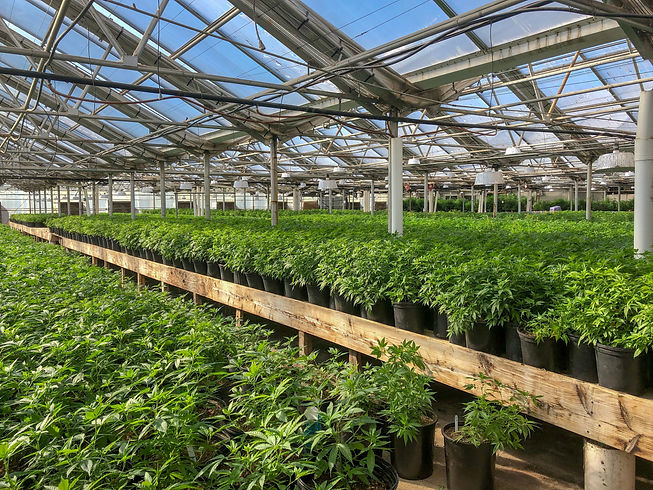 Hemp Greenhouse Plants.jpg