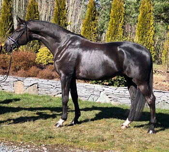 Warmblood Dressage Horse for Sale