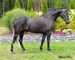 Wrosaletti - 2010 Warmblood Gelding