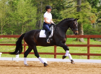 Bendal - 2006 3rd Level Gelding