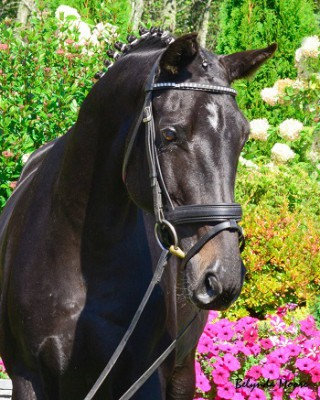 Windwalker - 2006 Hungarian Warmblood