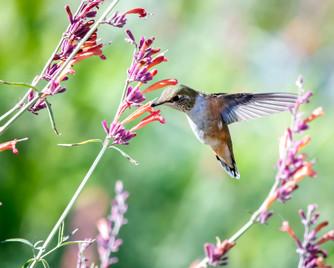 close-up-photo-of-hummingbird-near-flowe